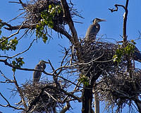 heron nesting ground 2