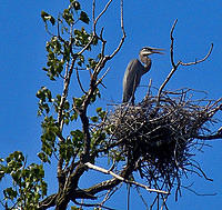 heron nesting ground 3